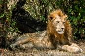 Kenya: Maasai Mara National Reserve, lion resting in shade of croton bushes, September
