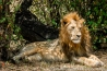 Kenya: Maasai Mara National Reserve, lion resting in shade of croton bushes, September