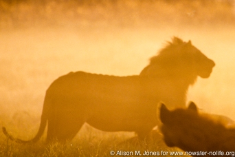 Kenya: Lake Nakuru, male lion on kill, hyena in foreground
