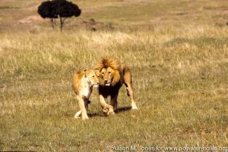 Kenya: Maasai Mara Game Reserve, female and male lion during mating period