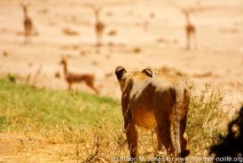 Kenya: Buffalo Springs National Reserve, lion hunting