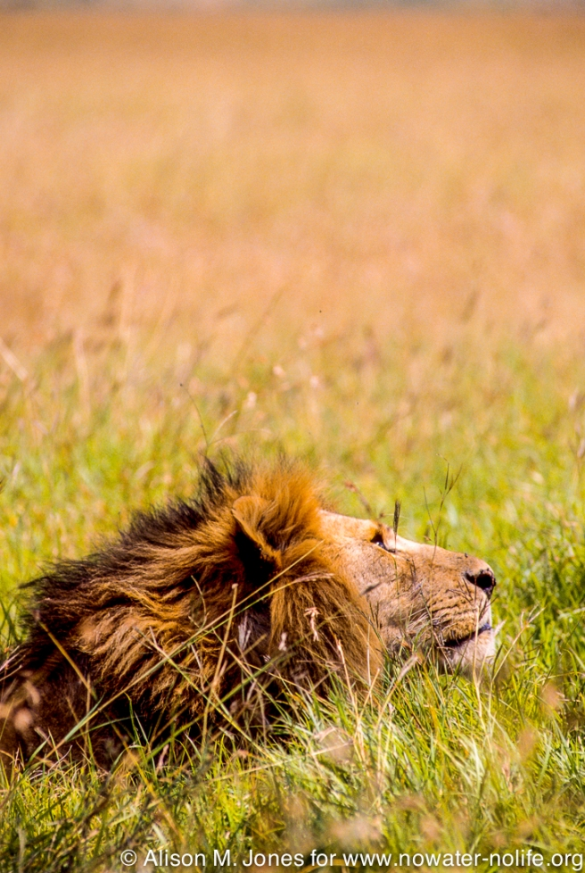 Kenya: Maasai Mara Game Reserve, head of large-maned male lion lying in grasses
