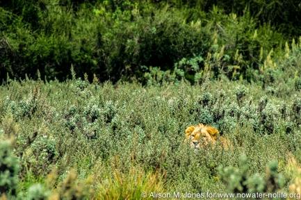 Kenya: Aberdare National Park, head of male lion peering through top of tall bush