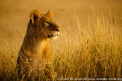 Kenya: Maasai Mara Game Reserve, head of female lion above grasses