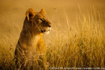 Kenya: Maasai Mara Game Reserve, head of female lion above grasses