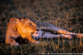 Kenya: Maasai Mara Game Reserve, female lion lying and peering through grasses at sunset