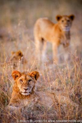Kenya: Maasai Mara Game Reserve, lion cubs