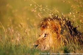 Kenya: Maasai male lion sitting in grass