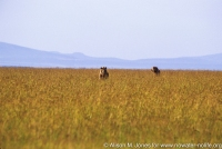 Kenya: Maasai Mara, two male lions standing in grass