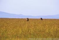 Kenya: Maasai Mara, two male lions standing in grass