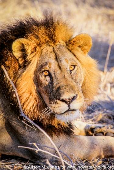 Tanzania: Ruaha National Park, close-up portrait of male lion