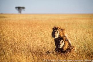 Tanzania: Serengeti National Moru Kopjes, two male lions in grassy plain