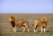 Tanzania: Serengeti National Park, two male lions standing on grassy plain