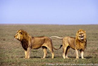 Tanzania: Serengeti National Park, two male lions standing on grassy plain