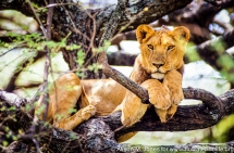Tanzania: Lake Manyara National Park, female lion in acacia tree