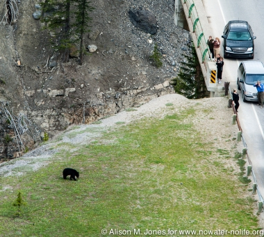 Canada: Alberta, cars pulled over from highway watching black bear