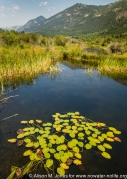 Canada: British Columbia, Kootenay Rockies, Columbia River Basin, East Kootenays, Brisco, Columbia Wetlands, yellow waterlily (Nuphar polysepalum)