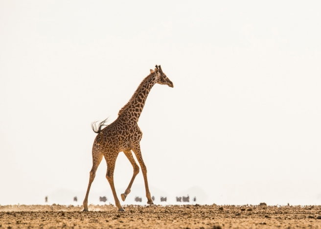 Giraffe and Maasai cross Amboseli Lake in a mirage.