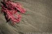 ARG Valdes Peninsula, Argentina: Valdes Peninsula, Patagonia, Chubut Province, Punta Delgada, beach on Atlantic Ocean, red seaweed on sand