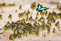 East AFrica: Uganda, Queen Elizabeth National Park /Ishasha, African common white butterflies (Belenois creona severina) on moist patch in road after rain, aqua-green swallowtail butterfly (Papilio Bromius , Broad green-banded swallowtail) flying off
