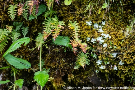 USA: Oregon, Columbia River Basin, Columbia Gorge, wet cliff wall vegetation at Wahkeena Falls
