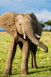 East Africa, Kenya, Maasai Mara National Reserve, Mara Conservancy, Mara Triangle, Mara River Basin, African elephant (Loxodonta africana)