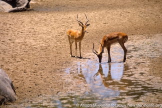 Tanzania: Ruaha National Park, Mwagusi Camp, two male impalas ('Aepyceros melampus') at water hole,
