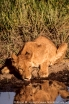 Botswana: Okavango Delta, Chief's Island, Mombo Camp, near-adult lion ('Panthera leo') cub at waterhole
