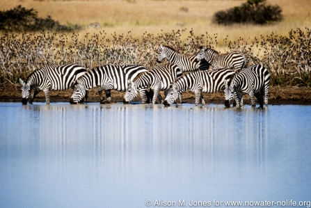 Kenya: Laikipia Plateau, Loisaba Wilderness (formerly Colcheccio Ranch), herd of Burchell's zebra ('Equus burchelli') drinking in river,