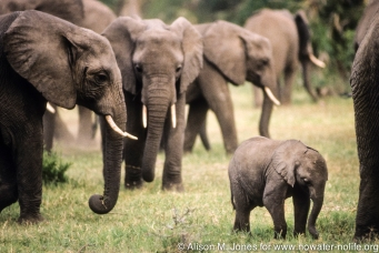 Tanzania: Lake Manyara National Park, matriarchal herd of African elephants ('Loxodonta africana') with newborn,