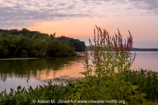 US: New Jersey, headwaters of the South Branch of the Raritan River. Purple loosestrife growing on shore of Budd Lake