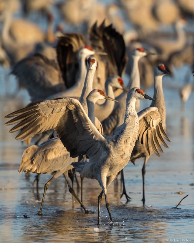 Cranes-7013.jpg