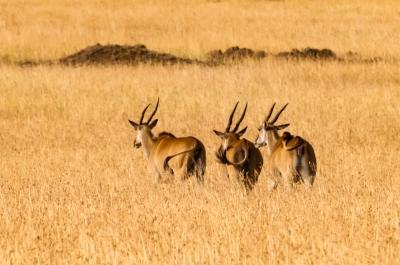 East Africa, Kenya, Maasai (aka Masai) Mara NR, Rekero