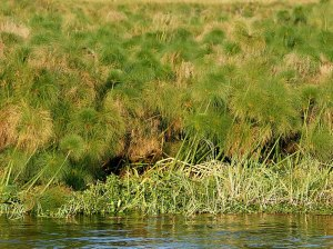 799px-Cyperus_papyrus_(Kafue_River)