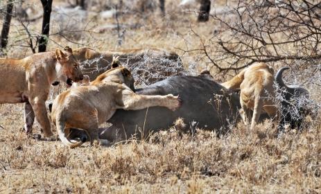 Lions_taking_down_cape_buffalo.jpg