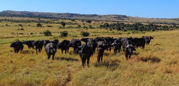Syncerus-caffer-Masaai-Mara-Kenya.JPG