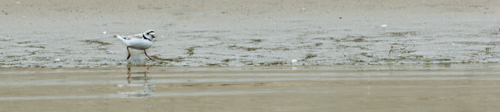 USA: Massachusetts, Cape Cod, Wianno, piping plover in breeding plumage