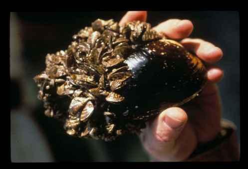 Zebra_mussels_dreissena_polymorpha_on_native_mussel.jpg