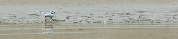 USA: Massachusetts, Cape Cod, Wianno, piping plover in breeding plumage
